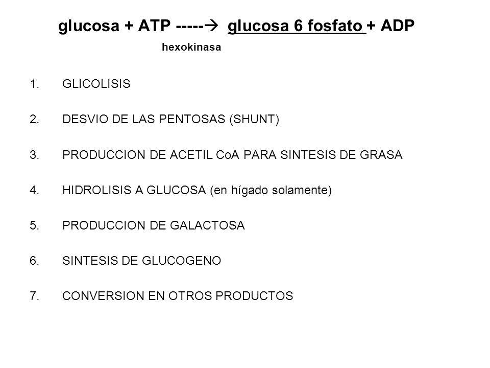 glucosa + ATP ----- glucosa 6 fosfato + ADP hexokinasa 1.GLICOLISIS 2.DESVIO DE LAS PENTOSAS (SHUNT) 3.PRODUCCION DE ACETIL CoA PARA SINTESIS DE GRASA
