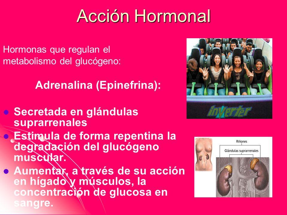 Acción Hormonal Hormonas que regulan el metabolismo del glucógeno: Adrenalina (Epinefrina): Secretada en glándulas suprarrenales Estimula de forma rep