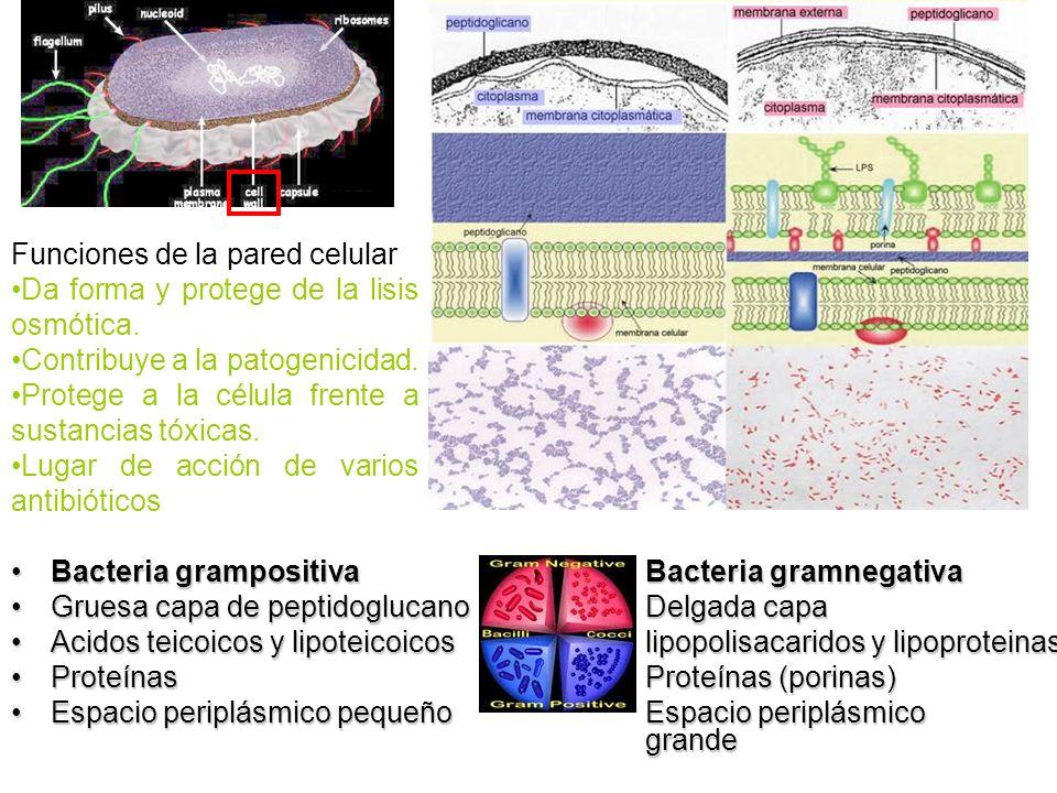 Bacteria grampositivaBacteria gramnegativaBacteria grampositivaBacteria gramnegativa Gruesa capa de peptidoglucanoDelgada capaGruesa capa de peptidogl