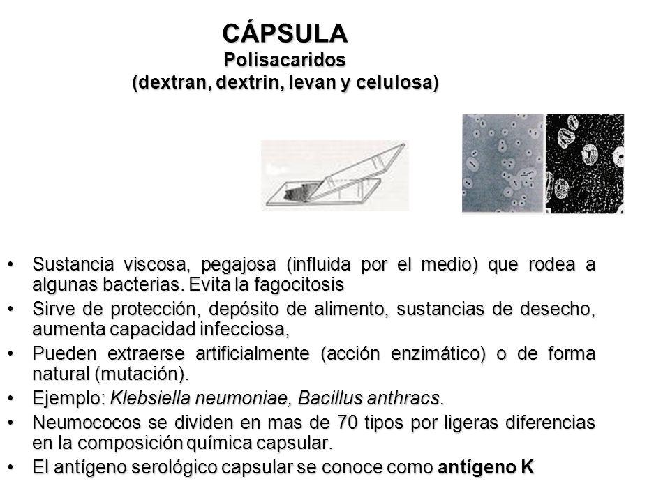 CÁPSULA Polisacaridos (dextran, dextrin, levan y celulosa) Sustancia viscosa, pegajosa (influida por el medio) que rodea a algunas bacterias. Evita la