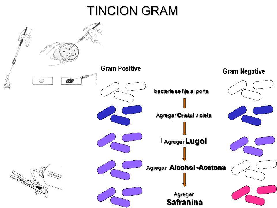 TINCION GRAM bacteria se fija al porta Agregar c ristal violeta Agregar Lugol Agregar Alcohol -Acetona Agregar Safranina Safranina
