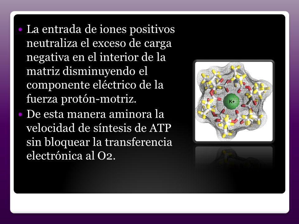 La entrada de iones positivos neutraliza el exceso de carga negativa en el interior de la matriz disminuyendo el componente eléctrico de la fuerza pro