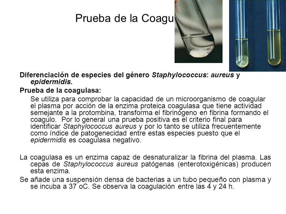 Prueba de la Coagulasa Diferenciación de especies del género Staphylococcus: aureus y epidermidis. Prueba de la coagulasa: Se utiliza para comprobar l