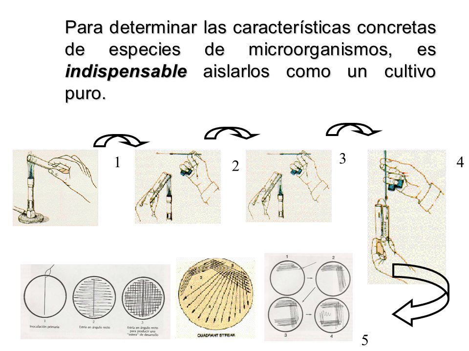 Para determinar las características concretas de especies de microorganismos, es indispensable aislarlos como un cultivo puro. 1 2 3 4 5