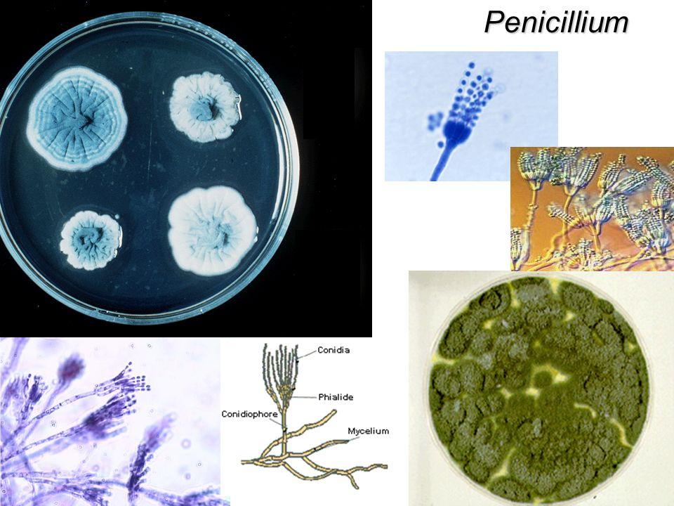 REBECA LANCEFIELD desarrollo en 1933 el sistema de clasificación serológica para diferenciar las cepas Betahemolíticas.