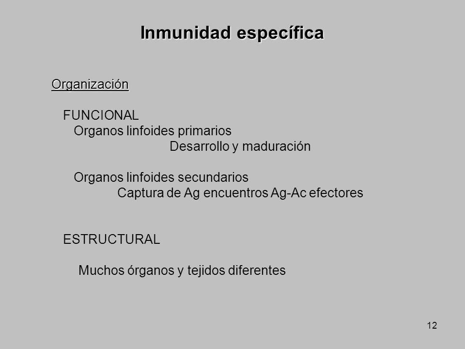 12 Organización FUNCIONAL Organos linfoides primarios Desarrollo y maduración Organos linfoides secundarios Captura de Ag encuentros Ag-Ac efectores E