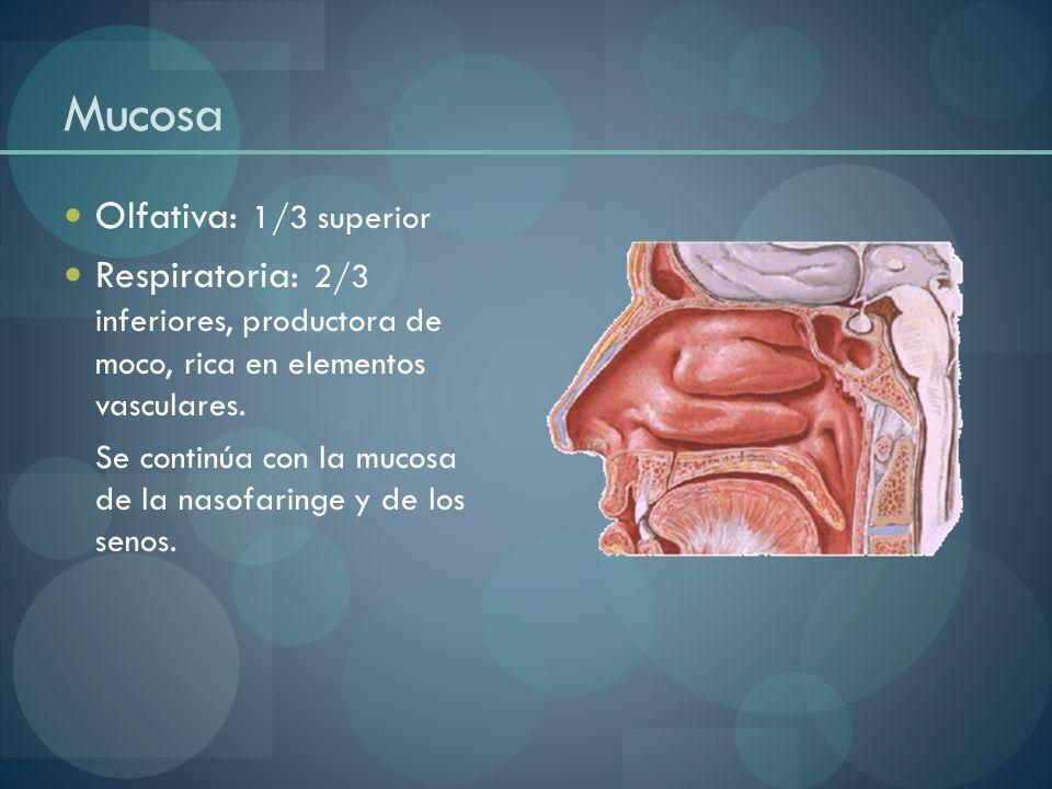 Mucosa Olfativa: 1/3 superior Respiratoria: 2/3 inferiores, productora de moco, rica en elementos vasculares. Se continúa con la mucosa de la nasofari