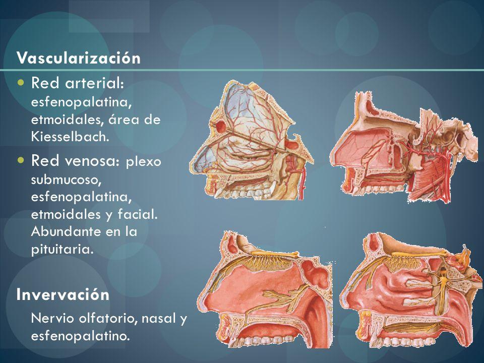Vascularización Red arterial: esfenopalatina, etmoidales, área de Kiesselbach. Red venosa: plexo submucoso, esfenopalatina, etmoidales y facial. Abund