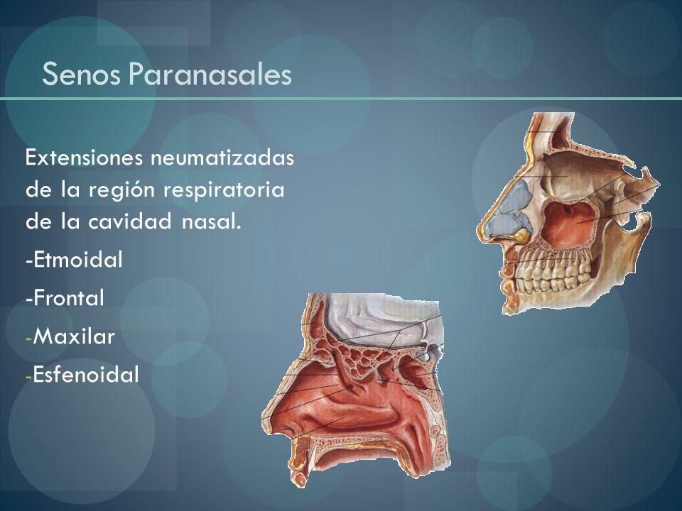 Senos Paranasales Extensiones neumatizadas de la región respiratoria de la cavidad nasal. -Etmoidal -Frontal - Maxilar - Esfenoidal