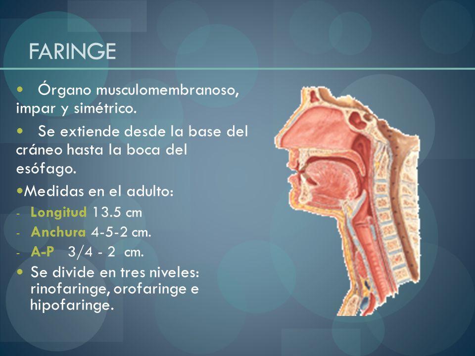 FARINGE Órgano musculomembranoso, impar y simétrico. Se extiende desde la base del cráneo hasta la boca del esófago. Medidas en el adulto: - Longitud