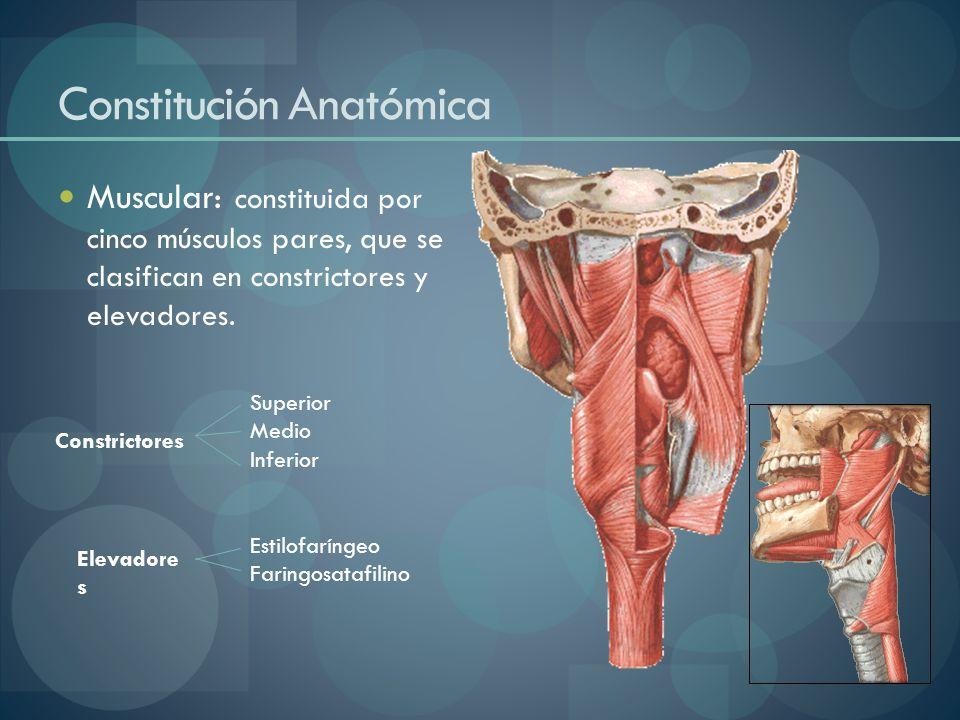 Constitución Anatómica Muscular: constituida por cinco músculos pares, que se clasifican en constrictores y elevadores. Constrictores Elevadore s Supe
