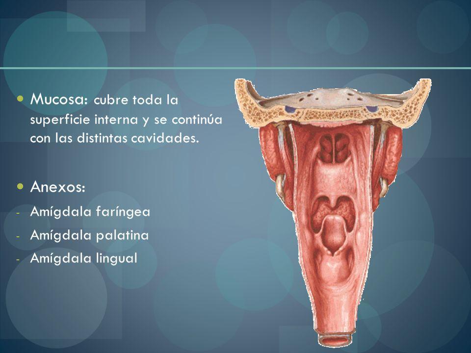 Mucosa: cubre toda la superficie interna y se continúa con las distintas cavidades. Anexos: - Amígdala faríngea - Amígdala palatina - Amígdala lingual