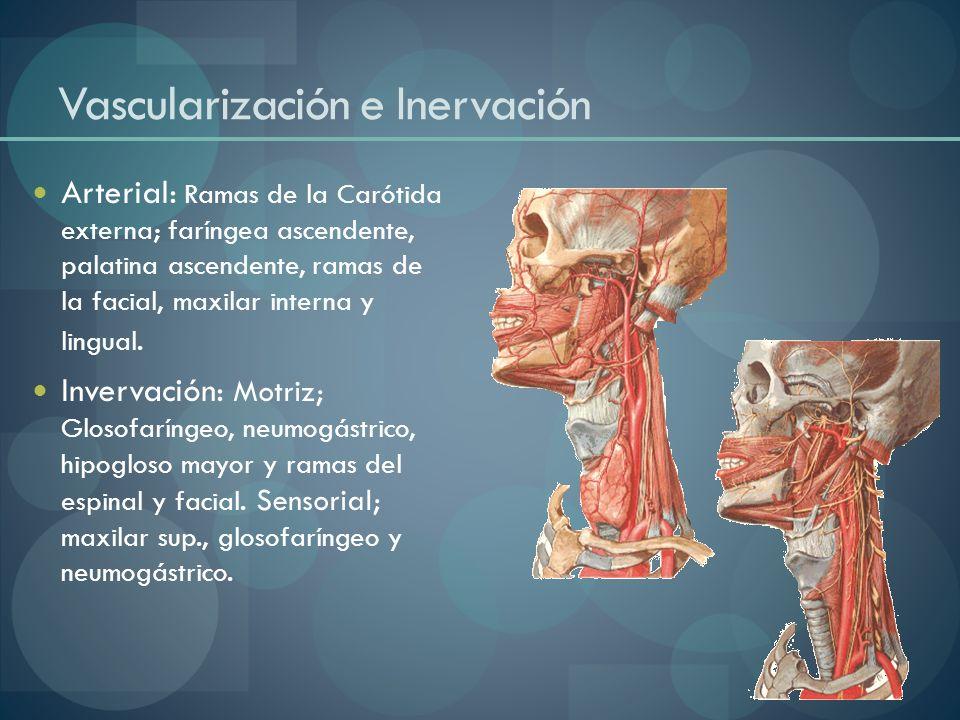 Vascularización e Inervación Arterial: Ramas de la Carótida externa; faríngea ascendente, palatina ascendente, ramas de la facial, maxilar interna y l