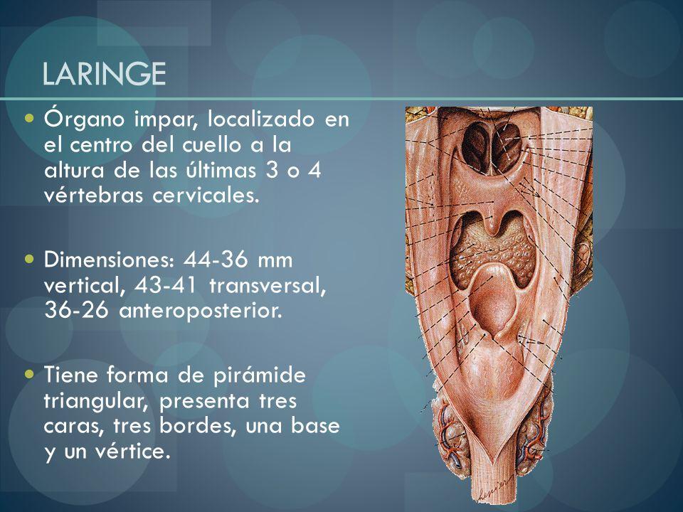 LARINGE Órgano impar, localizado en el centro del cuello a la altura de las últimas 3 o 4 vértebras cervicales. Dimensiones: 44-36 mm vertical, 43-41
