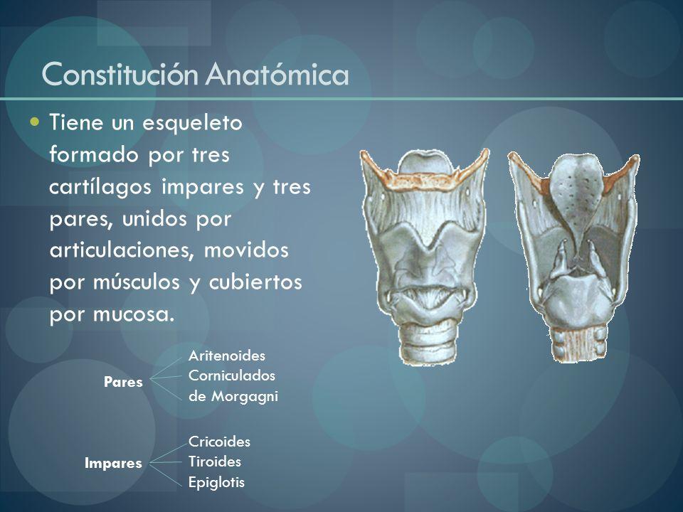 Constitución Anatómica Tiene un esqueleto formado por tres cartílagos impares y tres pares, unidos por articulaciones, movidos por músculos y cubierto
