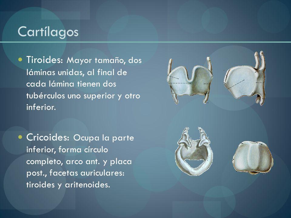 Cartílagos Tiroides: Mayor tamaño, dos láminas unidas, al final de cada lámina tienen dos tubérculos uno superior y otro inferior. Cricoides: Ocupa la