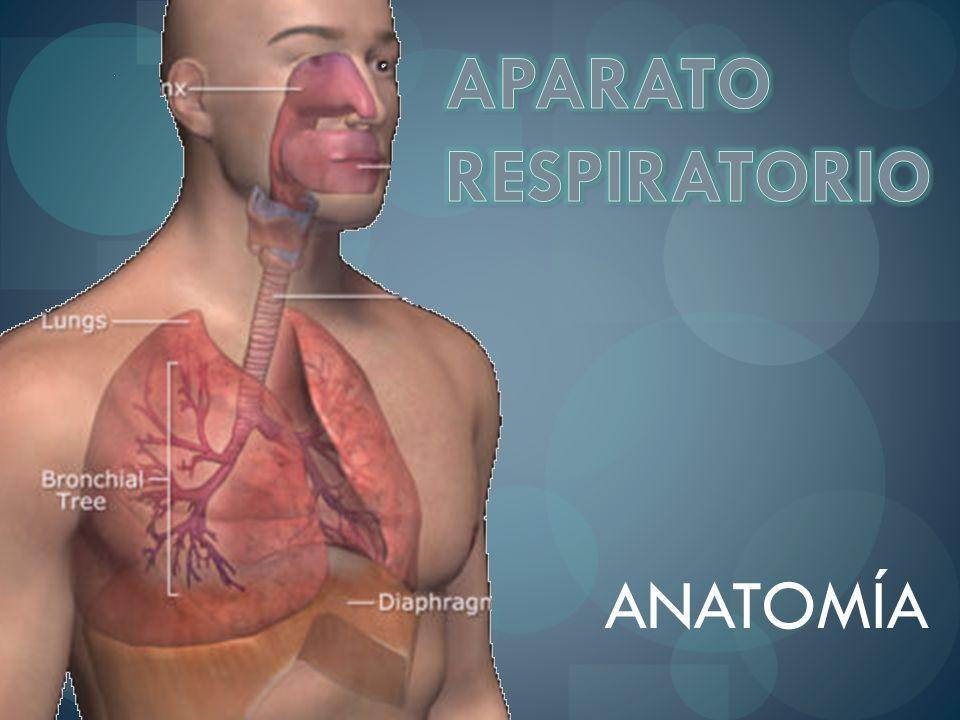 Fosas nasales Nasofaringe Bucofaringe Laringe Vías respiratorias superiores Conducto aéreo Acondicionan el aire inspirado Humidifican y filtran el aire