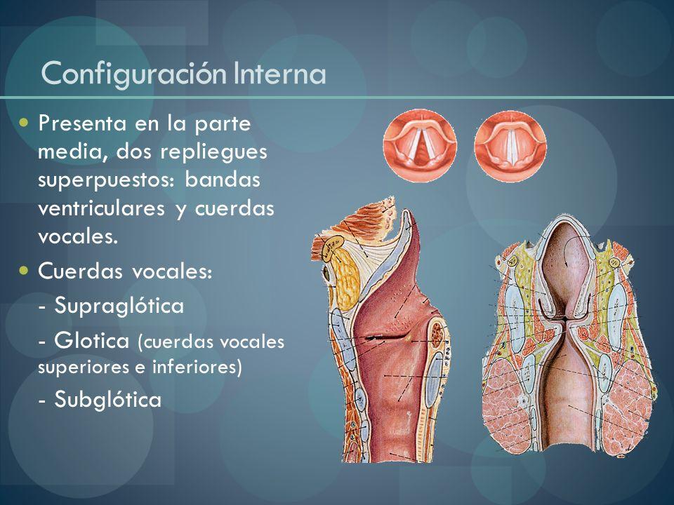Configuración Interna Presenta en la parte media, dos repliegues superpuestos: bandas ventriculares y cuerdas vocales. Cuerdas vocales: - Supraglótica