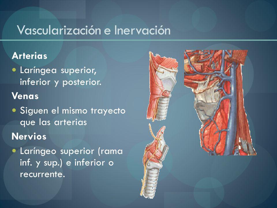 Vascularización e Inervación Arterias Laríngea superior, inferior y posterior. Venas Siguen el mismo trayecto que las arterias Nervios Laríngeo superi
