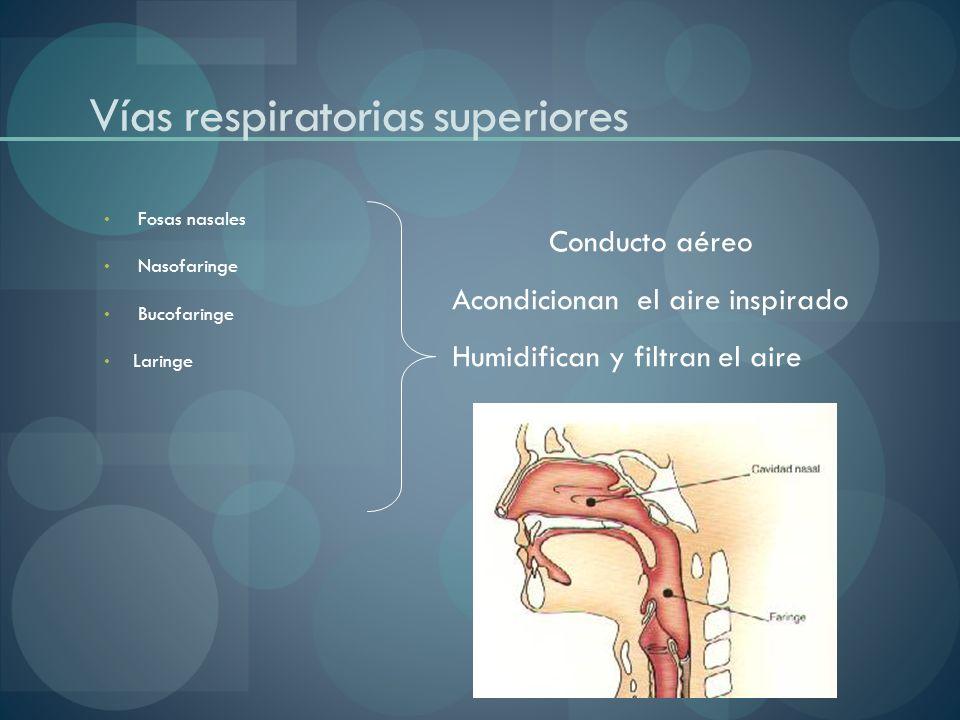 Fosas nasales Nasofaringe Bucofaringe Laringe Vías respiratorias superiores Conducto aéreo Acondicionan el aire inspirado Humidifican y filtran el air