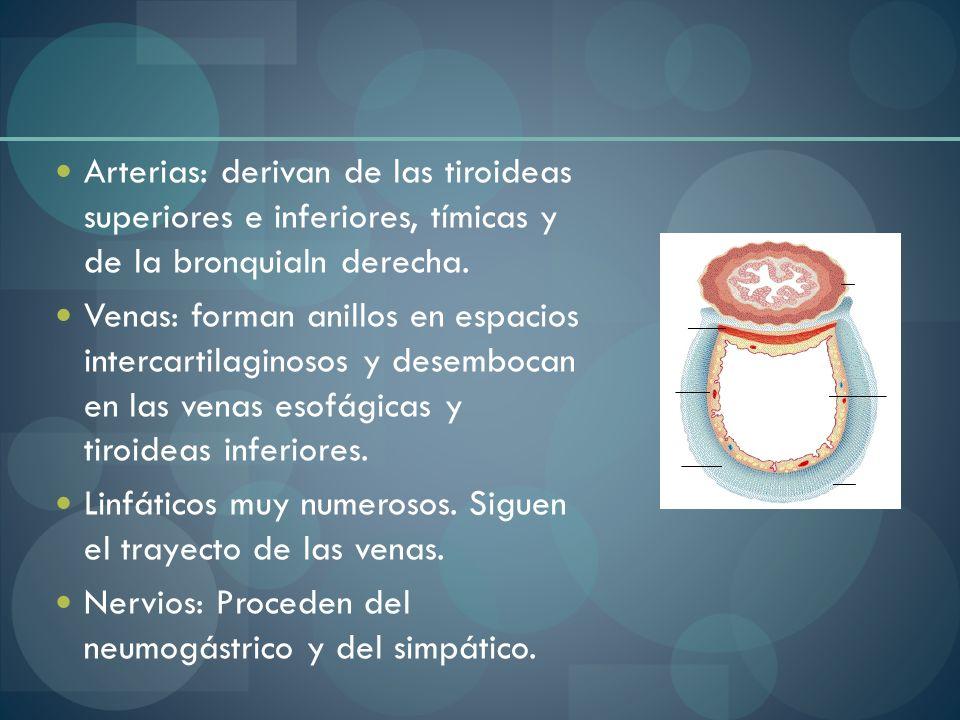 Arterias: derivan de las tiroideas superiores e inferiores, tímicas y de la bronquialn derecha. Venas: forman anillos en espacios intercartilaginosos