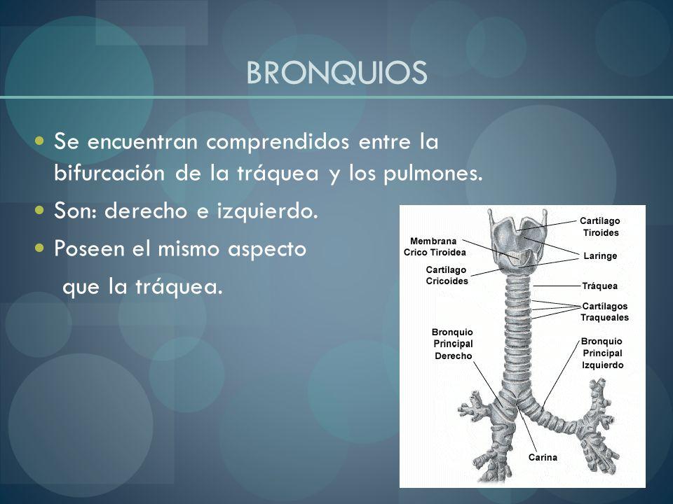 BRONQUIOS Se encuentran comprendidos entre la bifurcación de la tráquea y los pulmones. Son: derecho e izquierdo. Poseen el mismo aspecto que la tráqu