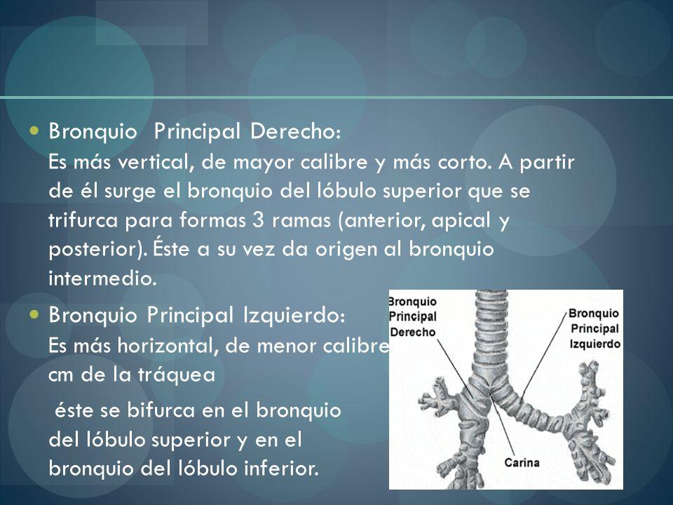 Bronquio Principal Derecho: Es más vertical, de mayor calibre y más corto. A partir de él surge el bronquio del lóbulo superior que se trifurca para f