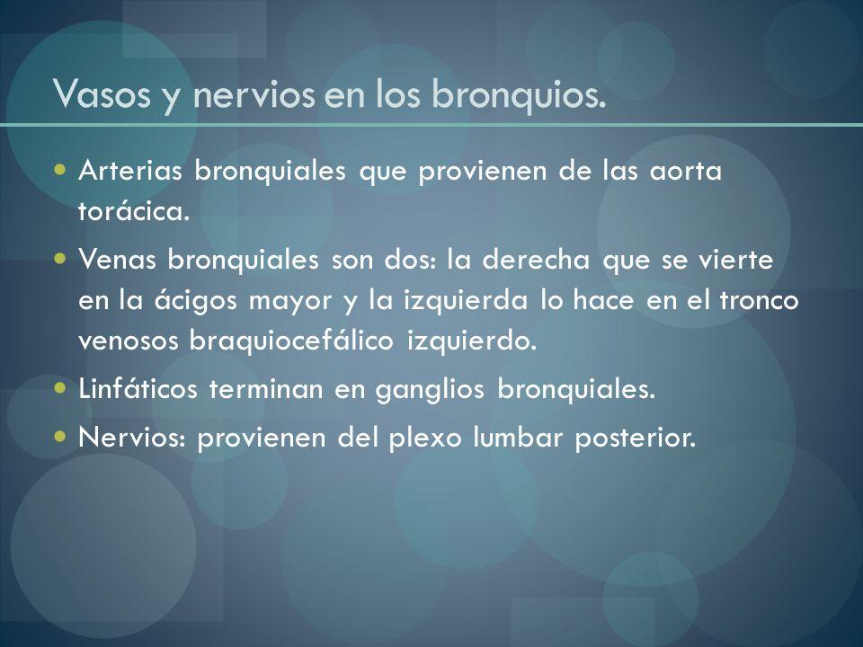 Vasos y nervios en los bronquios. Arterias bronquiales que provienen de las aorta torácica. Venas bronquiales son dos: la derecha que se vierte en la