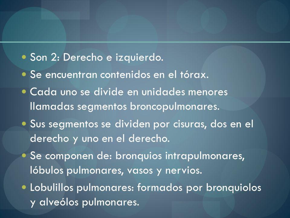 Son 2: Derecho e izquierdo. Se encuentran contenidos en el tórax. Cada uno se divide en unidades menores llamadas segmentos broncopulmonares. Sus segm