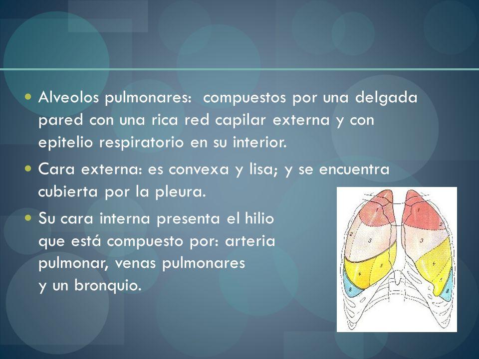 Alveolos pulmonares: compuestos por una delgada pared con una rica red capilar externa y con epitelio respiratorio en su interior. Cara externa: es co