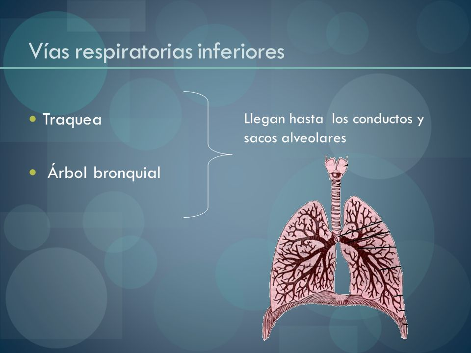 Vías respiratorias inferiores Traquea Árbol bronquial Llegan hasta los conductos y sacos alveolares
