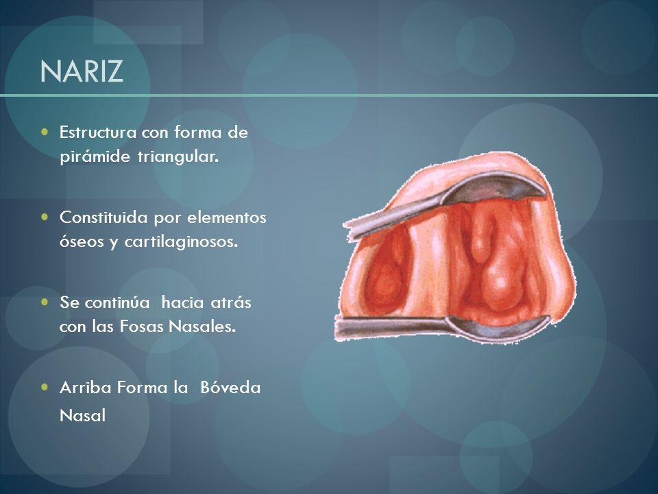 Constitución Ósea: a) Huesos propios nasales b) Apófisis ascendente y espina nasal del maxilar superior.