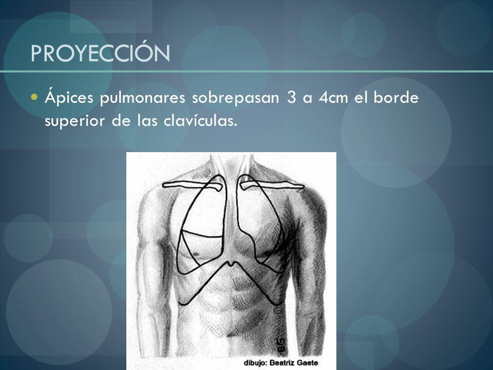 PROYECCIÓN Ápices pulmonares sobrepasan 3 a 4cm el borde superior de las clavículas.
