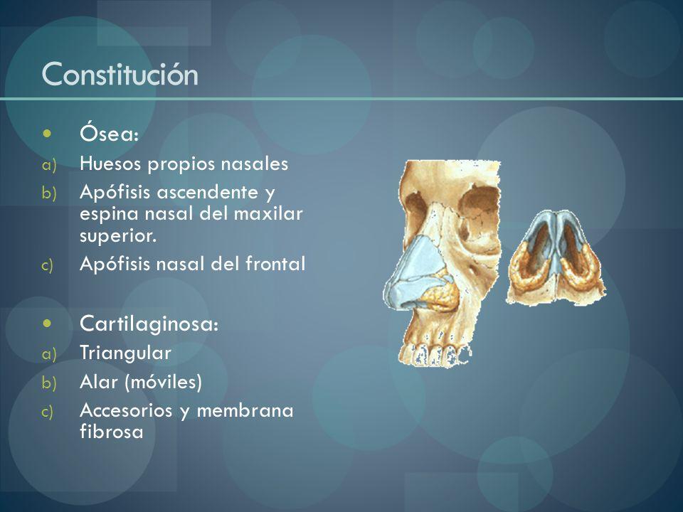Constitución Ósea: a) Huesos propios nasales b) Apófisis ascendente y espina nasal del maxilar superior. c) Apófisis nasal del frontal Cartilaginosa: