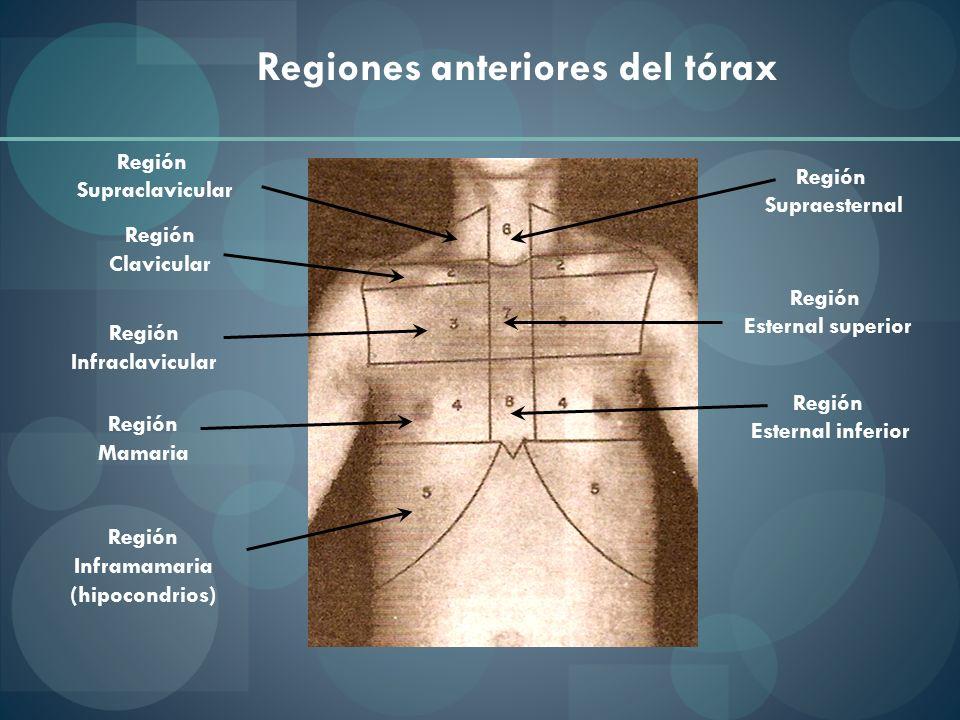 Regiones anteriores del tórax Región Supraclavicular Región Clavicular Región Infraclavicular Región Mamaria Región Inframamaria (hipocondrios) Región