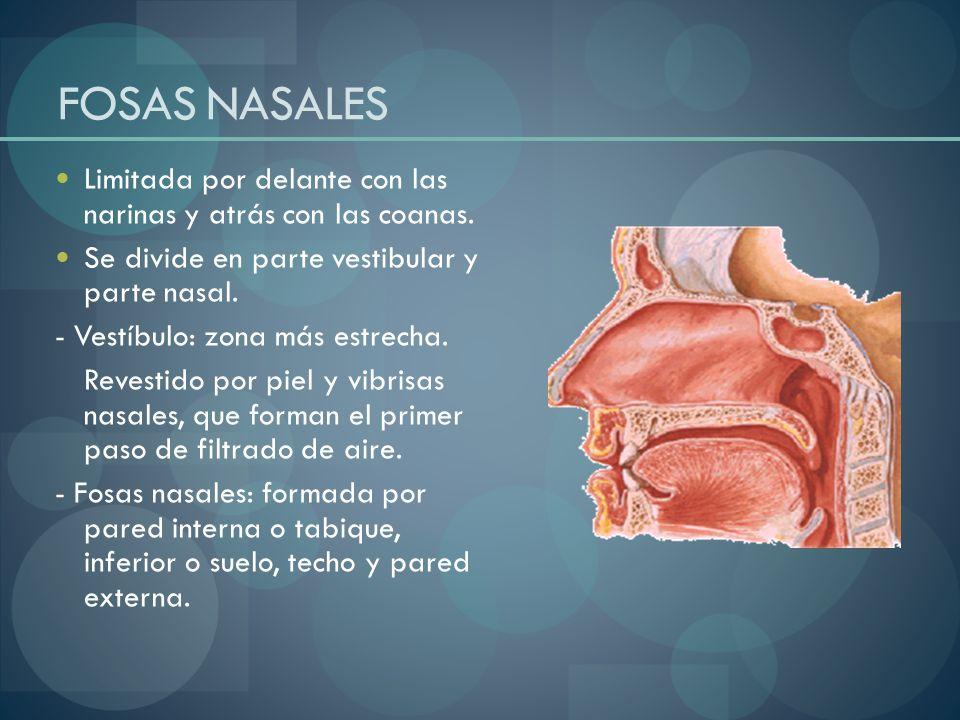Alveolos pulmonares: compuestos por una delgada pared con una rica red capilar externa y con epitelio respiratorio en su interior.