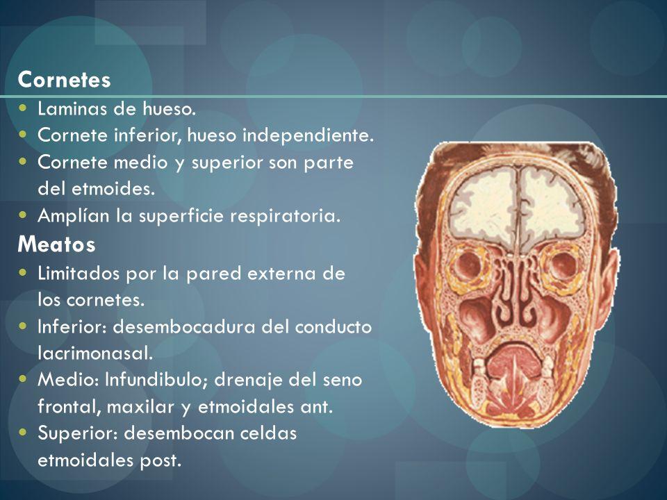 Cornetes Laminas de hueso. Cornete inferior, hueso independiente. Cornete medio y superior son parte del etmoides. Amplían la superficie respiratoria.