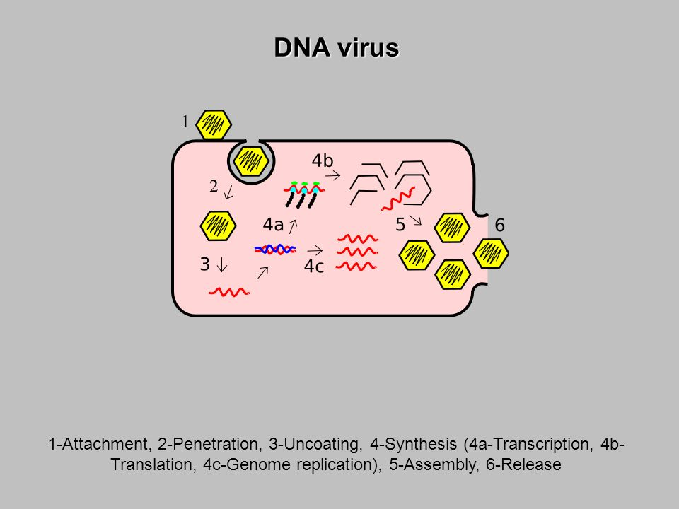 1-Attachment, 2-Penetration, 3-Uncoating, 4-Synthesis (4a-Transcription, 4b- Translation, 4c-Genome replication), 5-Assembly, 6-Release DNA virus