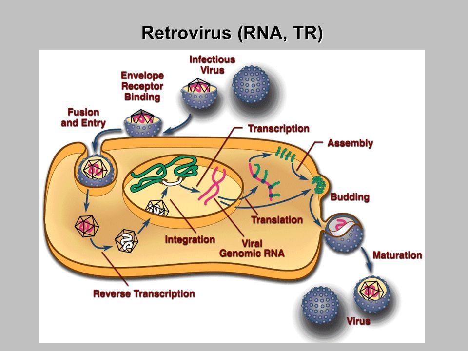 VIH (RNA, TR)