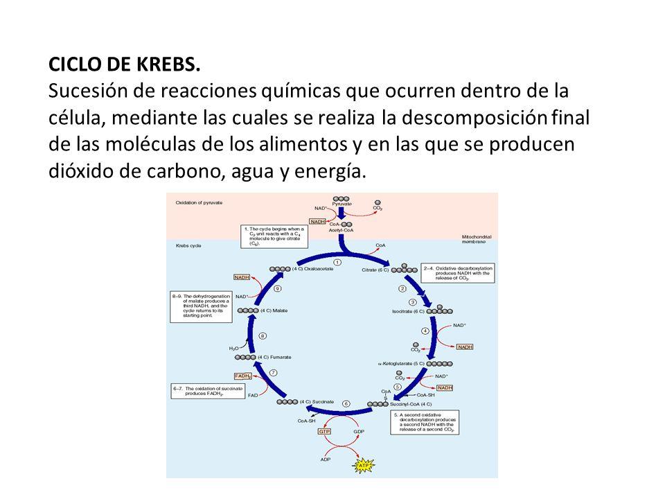 CICLO DE KREBS. Sucesión de reacciones químicas que ocurren dentro de la célula, mediante las cuales se realiza la descomposición final de las molécul