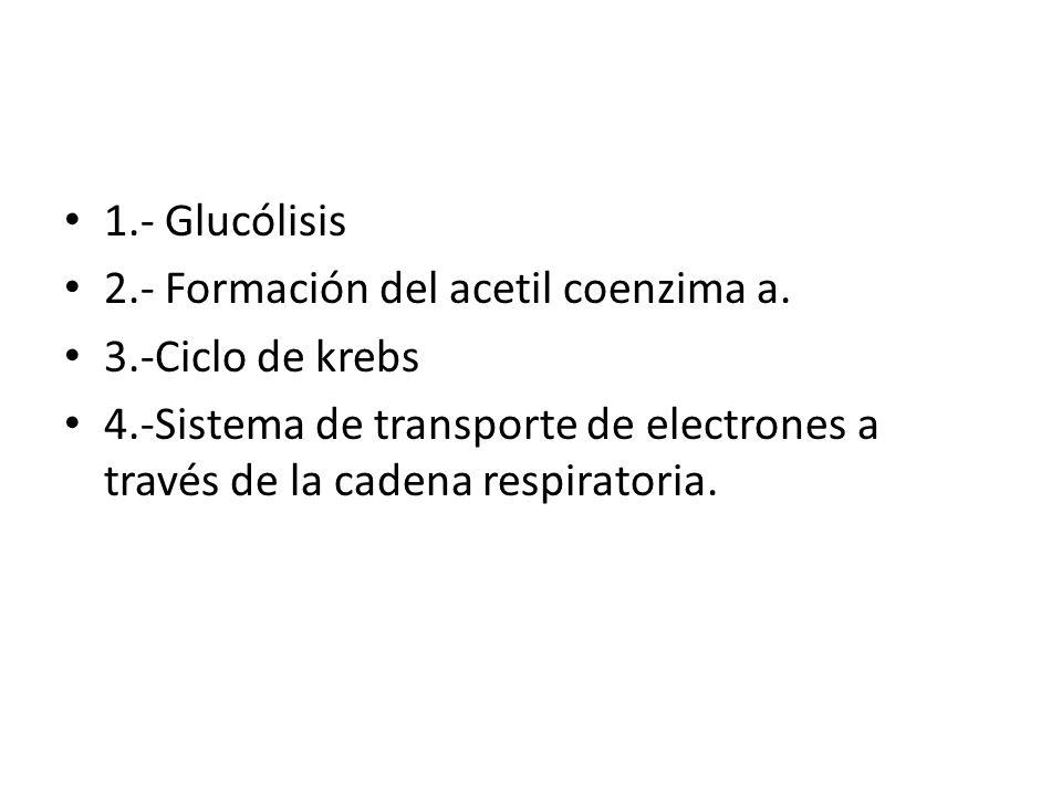 1.- Glucólisis 2.- Formación del acetil coenzima a. 3.-Ciclo de krebs 4.-Sistema de transporte de electrones a través de la cadena respiratoria.