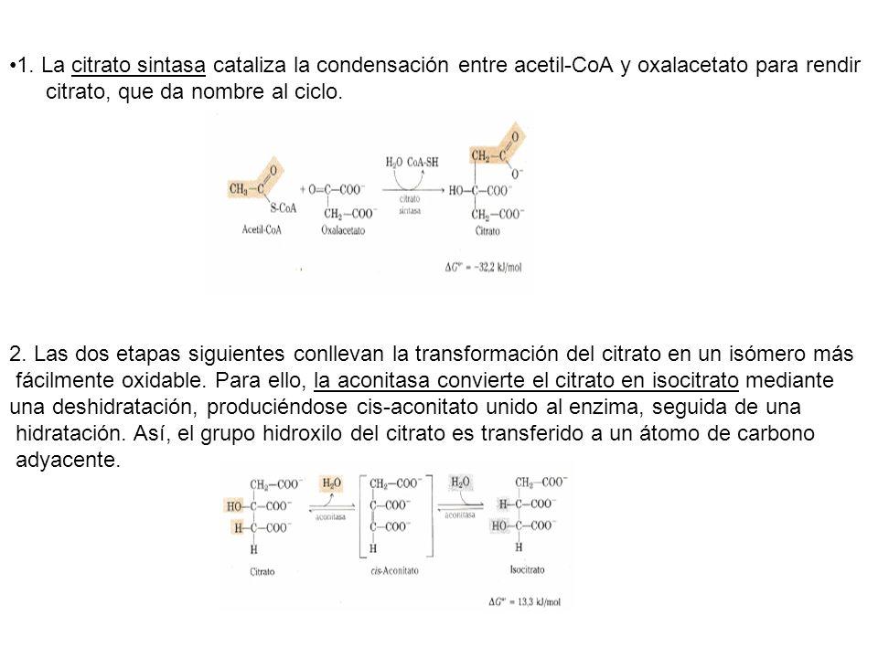 1. La citrato sintasa cataliza la condensación entre acetil-CoA y oxalacetato para rendir citrato, que da nombre al ciclo. 2. Las dos etapas siguiente
