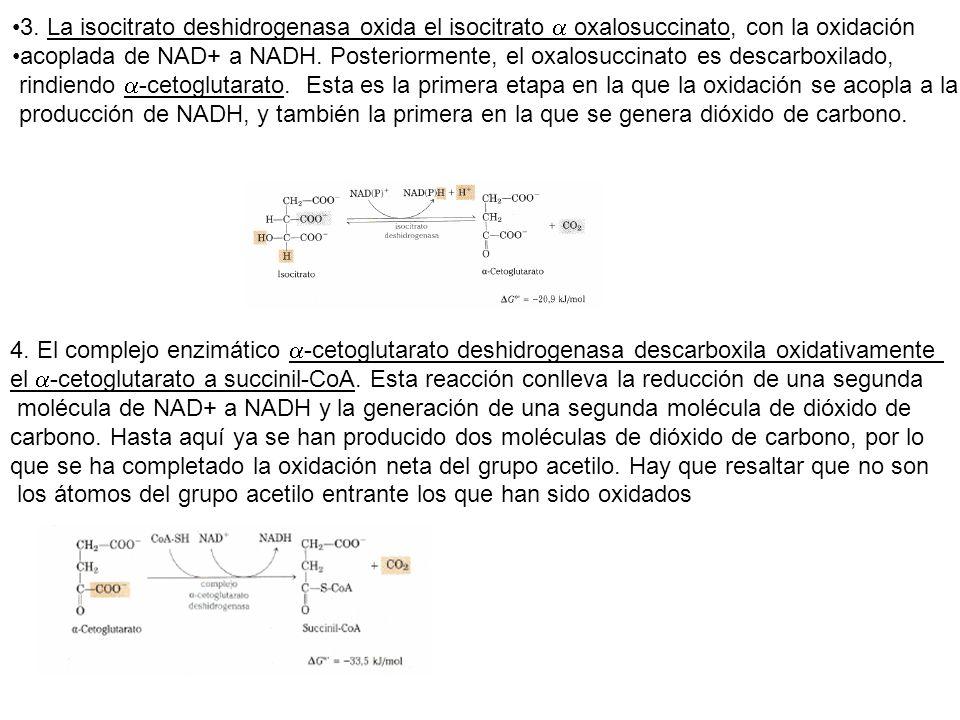 3. La isocitrato deshidrogenasa oxida el isocitrato oxalosuccinato, con la oxidación acoplada de NAD+ a NADH. Posteriormente, el oxalosuccinato es des