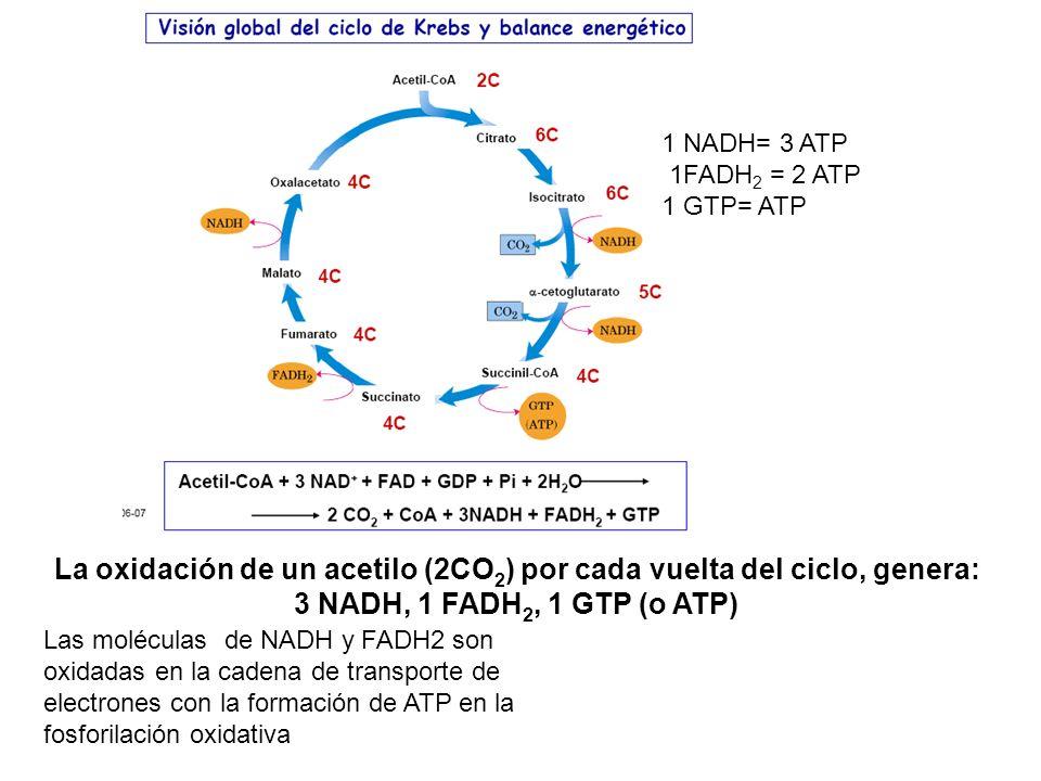 La oxidación de un acetilo (2CO 2 ) por cada vuelta del ciclo, genera: 3 NADH, 1 FADH 2, 1 GTP (o ATP) 1 NADH= 3 ATP 1FADH 2 = 2 ATP 1 GTP= ATP Las mo