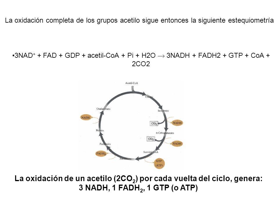 La oxidación completa de los grupos acetilo sigue entonces la siguiente estequiometría 3NAD + + FAD + GDP + acetil-CoA + Pi + H2O 3NADH + FADH2 + GTP