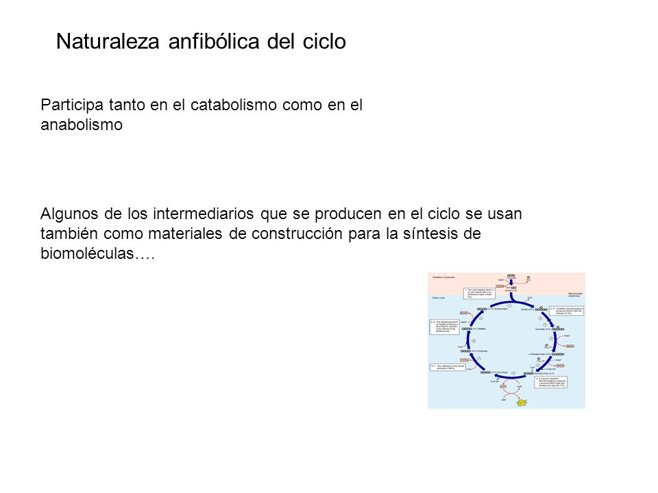 Naturaleza anfibólica del ciclo Participa tanto en el catabolismo como en el anabolismo Algunos de los intermediarios que se producen en el ciclo se u