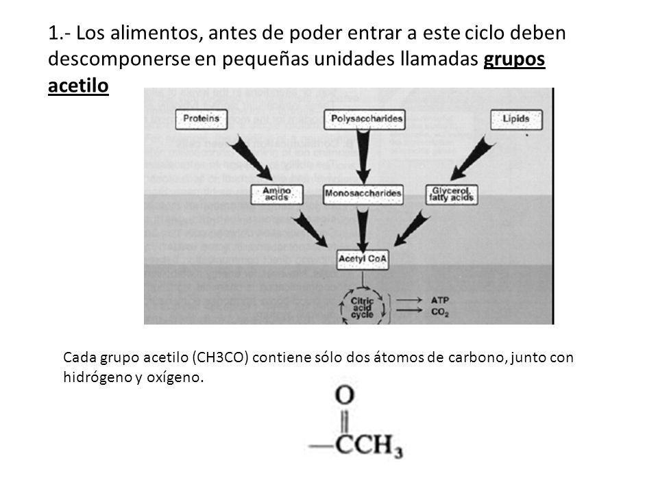 1.- Los alimentos, antes de poder entrar a este ciclo deben descomponerse en pequeñas unidades llamadas grupos acetilo Cada grupo acetilo (CH3CO) cont