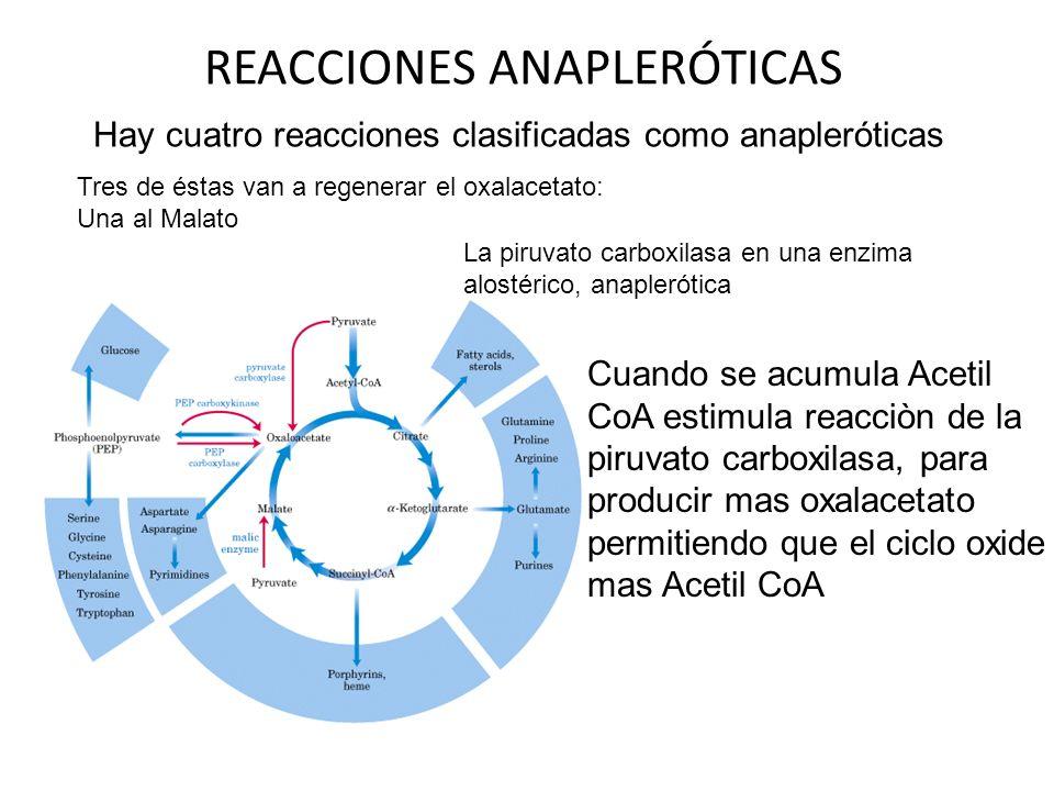 REACCIONES ANAPLERÓTICAS Hay cuatro reacciones clasificadas como anapleróticas Tres de éstas van a regenerar el oxalacetato: Una al Malato La piruvato