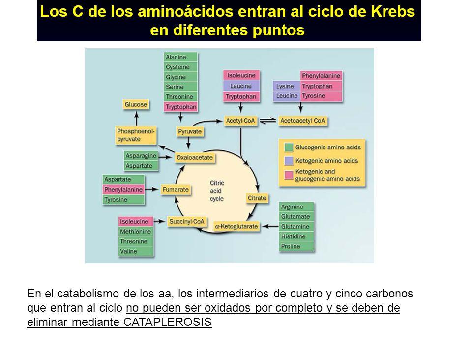 En el catabolismo de los aa, los intermediarios de cuatro y cinco carbonos que entran al ciclo no pueden ser oxidados por completo y se deben de elimi
