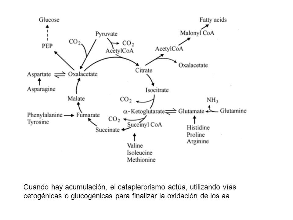 Cuando hay acumulación, el cataplerorismo actúa, utilizando vías cetogénicas o glucogénicas para finalizar la oxidación de los aa